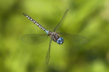 dragonfly-flight.jpg.838x0_q80